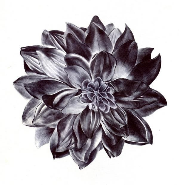 dahlia drawings | Black Dahlia Flower Drawing