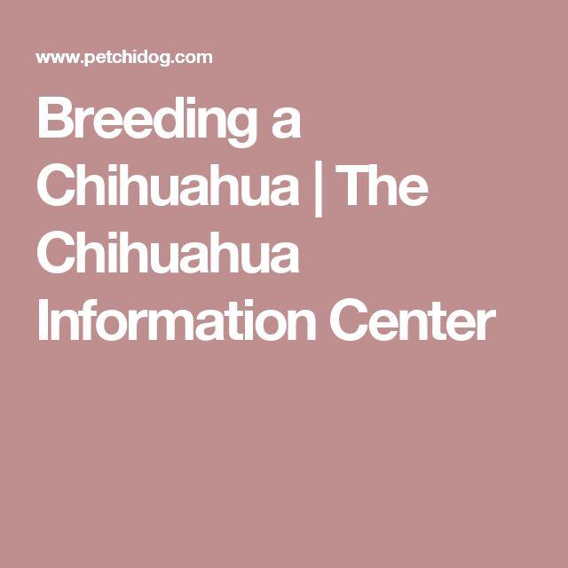 Breeding a Chihuahua | The Chihuahua Information Center