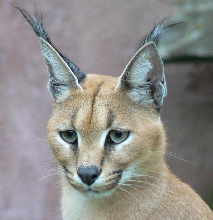 El caracal (Caracal caracal) | La Este fascinante felino también conocido como lince del desierto habita la sabana africana y el oeste asiático. Sin bien tiene un gran parentesco con el lince está más relacionado evolutivamente con el serval.