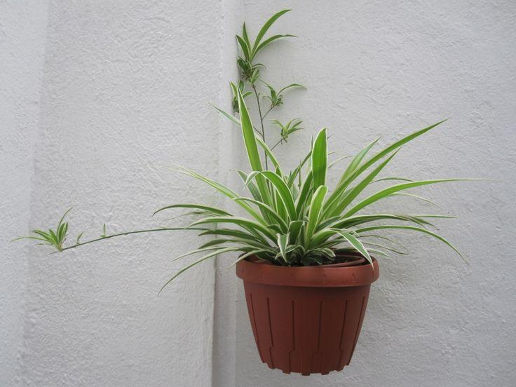 Cinta, planta, descontaminar, aire