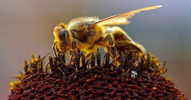 Rapport: Le taux de mortalité des abeilles est actuellement trop élevé pour la survie de l'espèce
