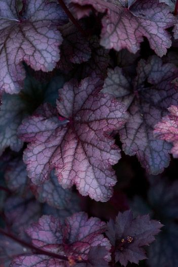 Heuchera micrantha 'Plum Pudding' is one of my favourite ground cover plants with a height and spread of 0.1-0.50m.  It forms a compact clump of deep beetroot-purple leaves dusted with silvery-grey.  The insignificant white flowers are borne on 60cm stems.  It likes full sun or partial shade and moist but well-drained soil.