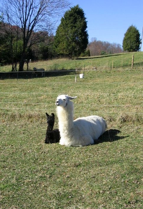 Raw Llama fiber approx 175 lbs by rarebreeds on Etsy