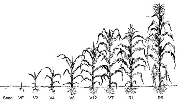 Corn Growth Stages Diagram