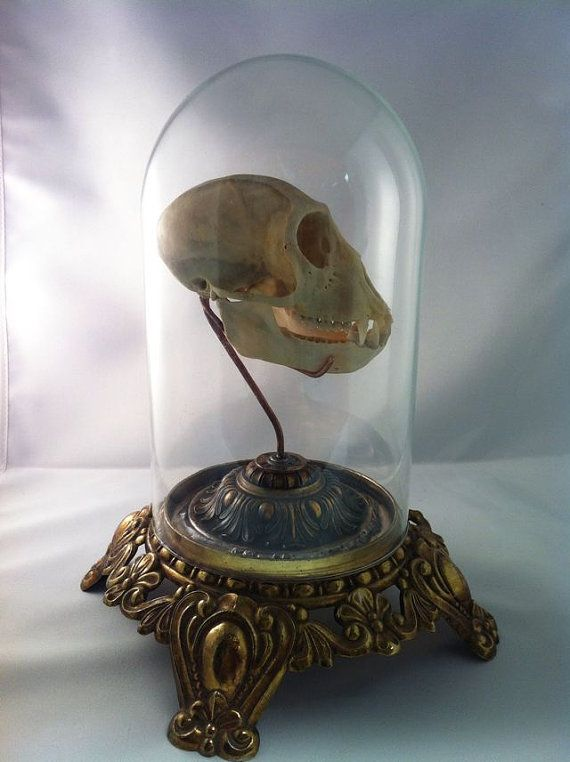 Real African Vervet Monkey Skull Under Glass Dome by Lucyguy