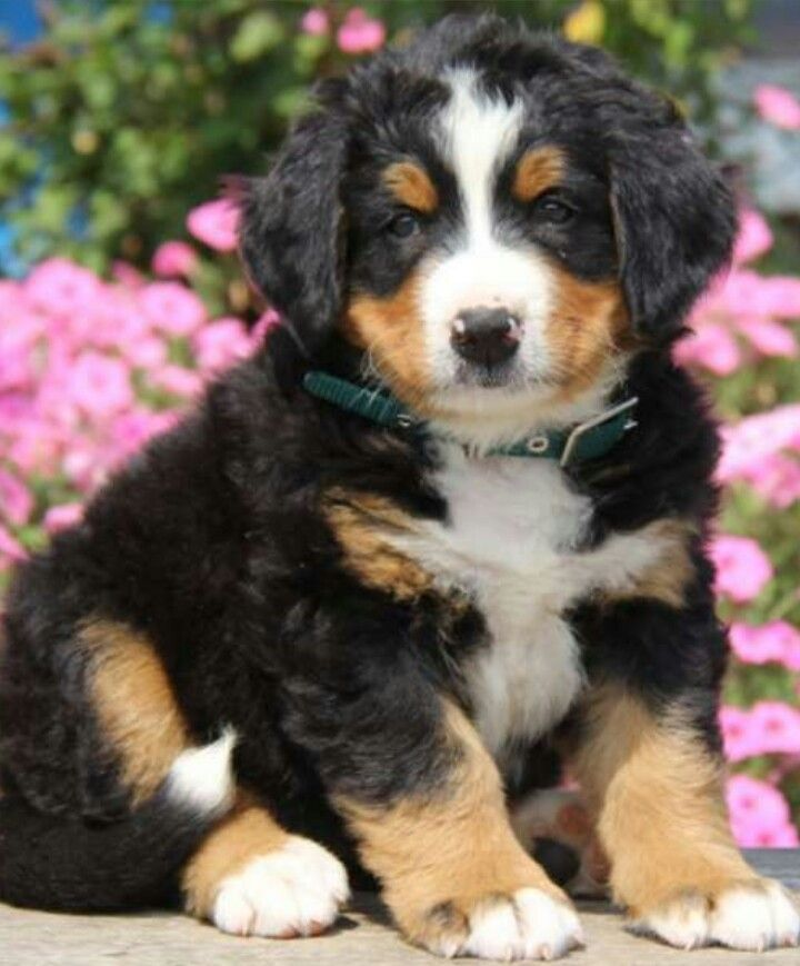 Bernese Mountain Dog For Sale In Ny