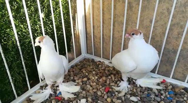 جاكوبين هومر فرل باك جعافر بلندونيت سنتونيت ارباش سكندرون بومنجل Scandaroon Pigeon Pigeons Mb معرض نفاخ لونق كارير ست Instagram Posts Instagram