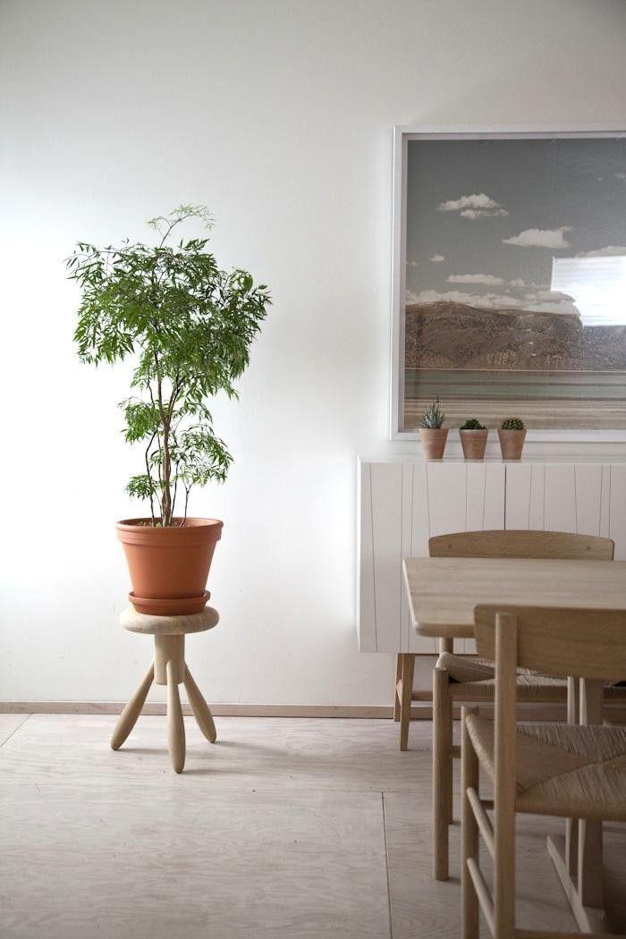 ming aralia evergreen shrub as houseplant gardenista indoor
