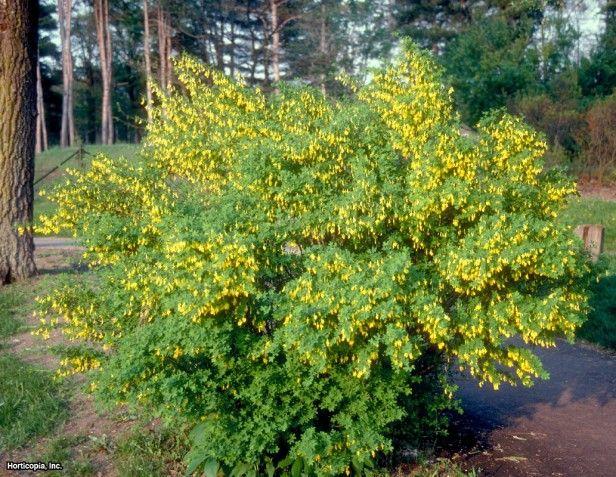 Russian Peashrub (Caragana frutex)