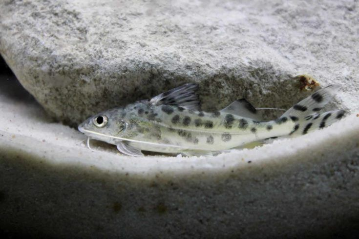 Pictus Catfish 101 Care And Feeding Guide In 2020 Freshwater Aquarium Freshwater Catfish Aquarium Fish