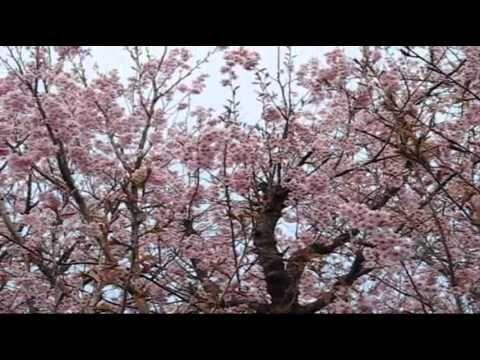 おはようございます。 昨晩は新しい職場から近い千鳥ヶ淵まで歩いてライトアップされた夜桜を見て帰りました。東京に住んでいて、実は千鳥ヶ淵の桜を見に行ったのは初めてでしたが、さすが都内の桜の名所として有名なスポット、満開で見事な景色でした。昨晩Facebookにアップした写真アルバムにも、今朝起きて見たら「いいね!」がたくさん(^o^)/ 今朝の一曲も桜の動画に合わせた華麗なジャズピアノ曲、エディ・ヒギンズ・トリオによる「In A Sentimental Mood」