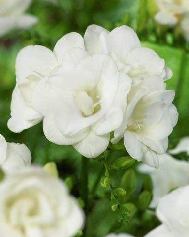 Bildresultat för vit freesia dubbel