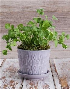 Herb Plant in Grey Pot!
