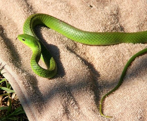 Deadly beautiful. A Green Mamba at Ubizane