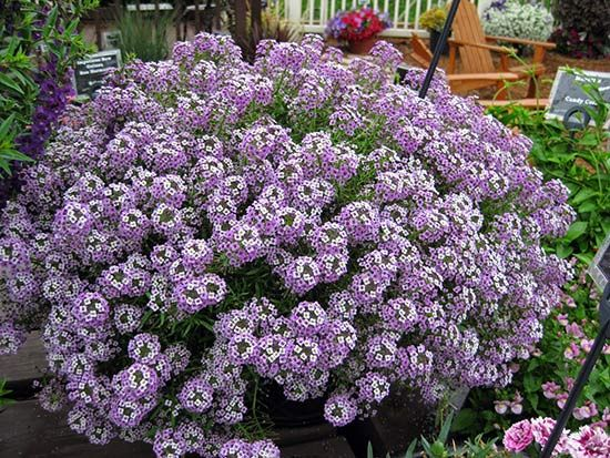 Алиссум (лобулярия), сорт Lavender Stream