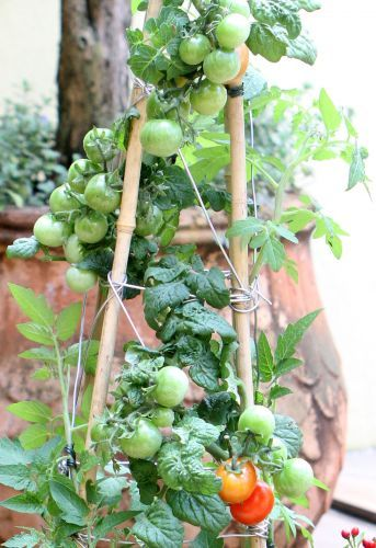 How to grow a tomato tree.