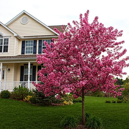 A Stunning Tree Bringing Warmth to Your Yard in Every Season - The Prairifire Crabapple is showy all year long. Having this tree in your yard will bring visual interest to every single season. Plant several along your driveway and create a grand entrance for your guests, no matter what time of year they arrive.  You'll get a plethora of warm color in the...