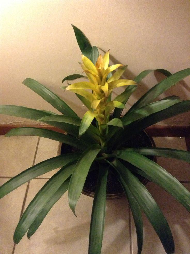 Bromelia planta de sombra bellisima | Plantas de interior ...