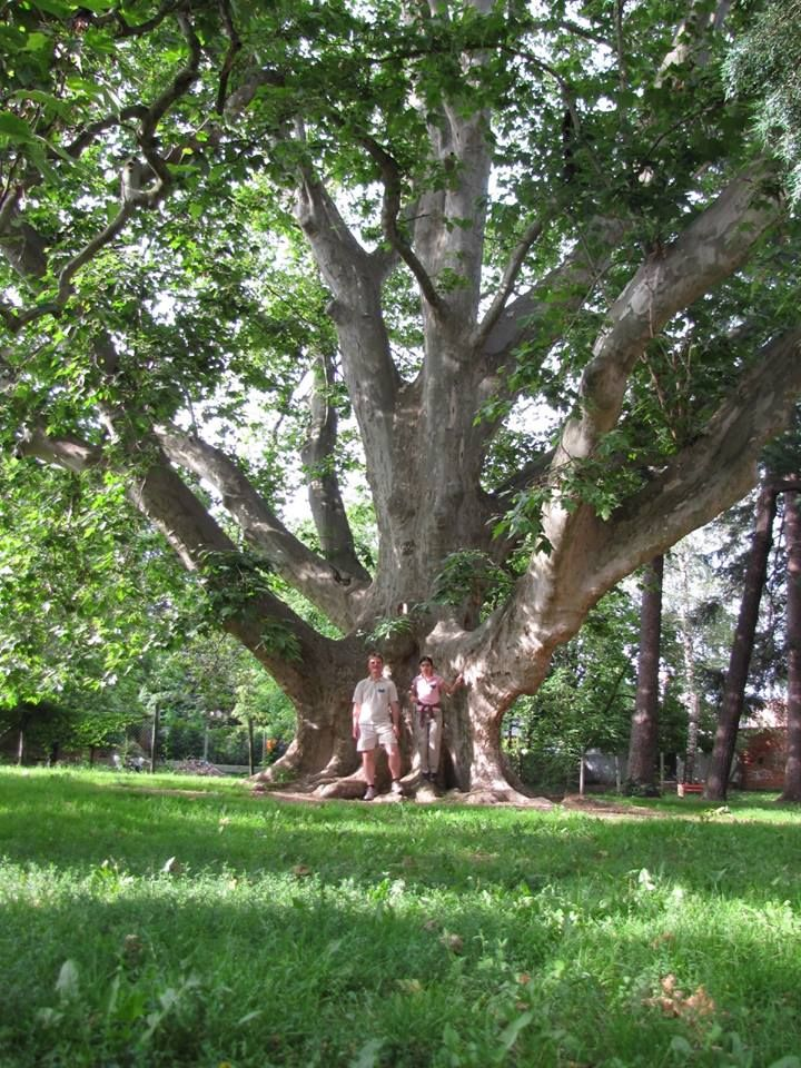 500-year-old sycamore - Kőszeg - Hungary