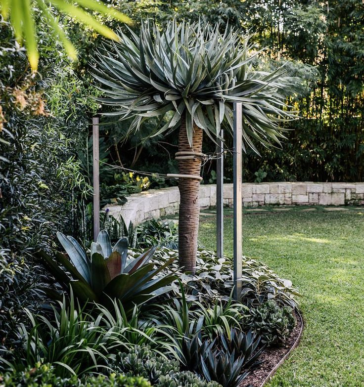 Dracaena draco underplanted with Alcanterea, Walking Iris, Strobilanthes, Agave and Crassula