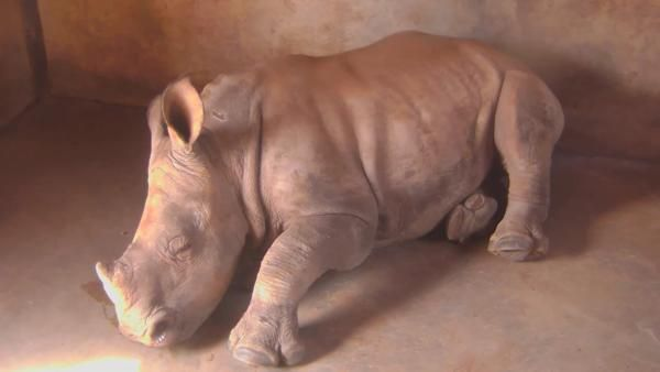 A Little Baby Rhino at the Baby Rhino cam. - May 16 2016 - 12:15pm  Africam