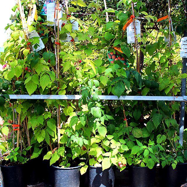 Luglio - Piante di #Lamponi in vaso - #Raspberry Trees in pot.