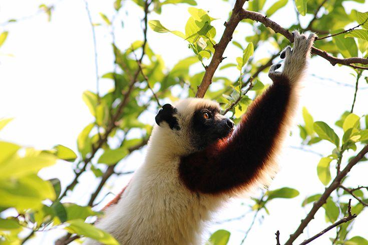 At One with the Wild Things of Madagascar | Anjajavy le Lodge #sifaka #lemur