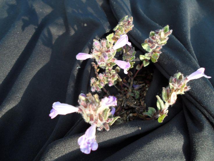 flor silvestre sierra atapuerca
