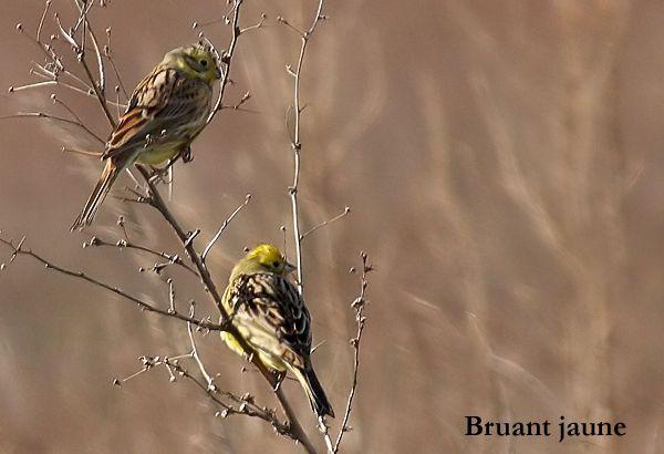 bruants_jaunes