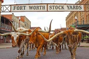 The Herd - Daily Longhorn Cattle Drive | Fort Worth CVB [11:30 am -4 pm]