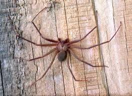 Araña reclusa parda: es una araña pequeña y venenosa que habita principalmente en el medio oeste y en el sur de los Estados Unidos