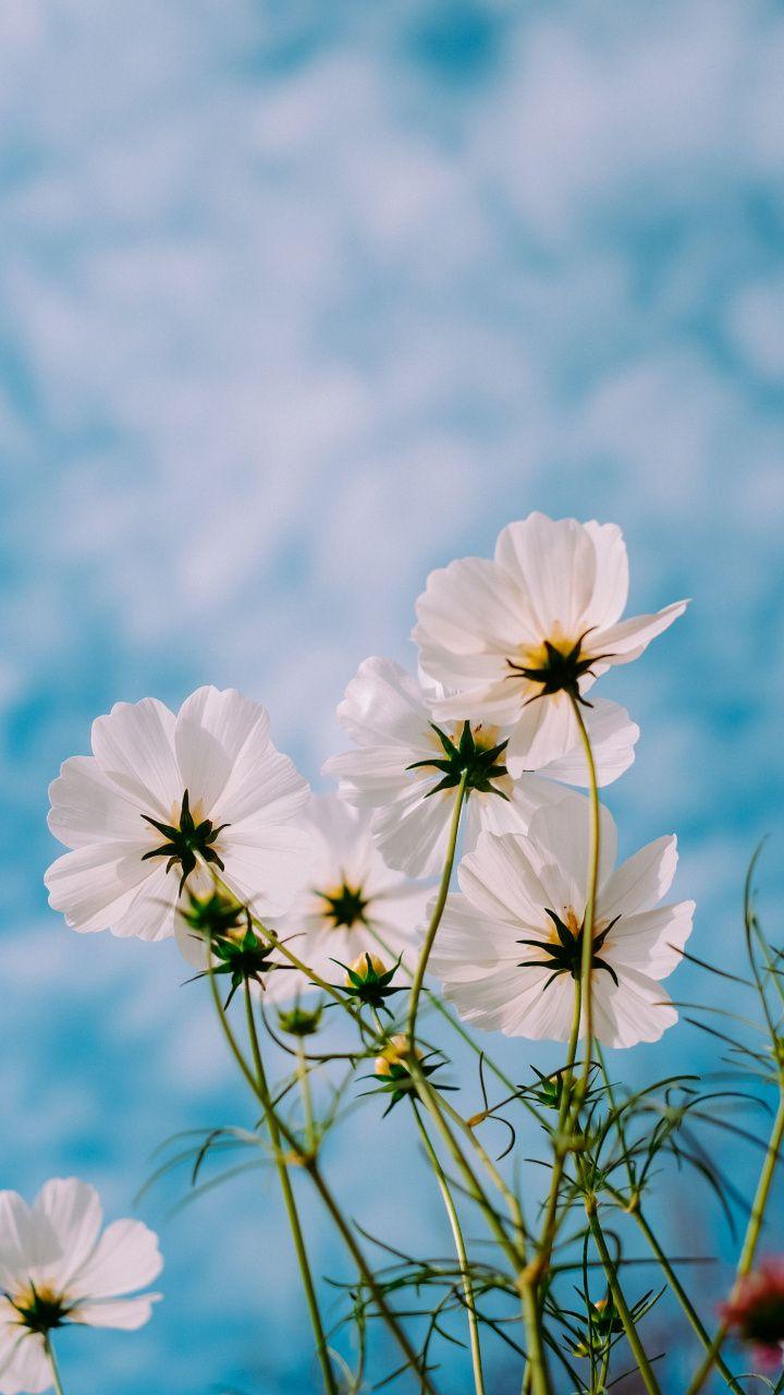 White Cosmos Bloom Plants Flowers 720x1280 Wallpaper Spring Wallpaper Spring Landscape Photos Spring Pictures