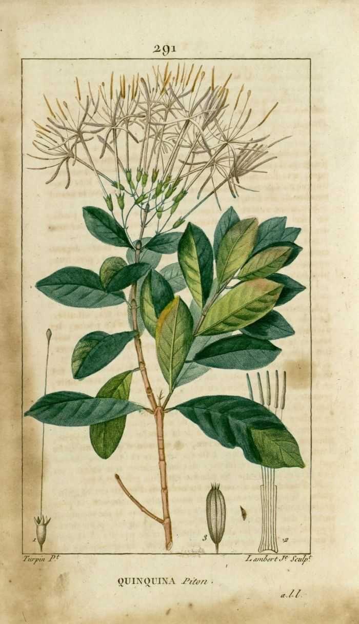 img/dessins-gravures de plantes medicinales/quinquina piton.jpg