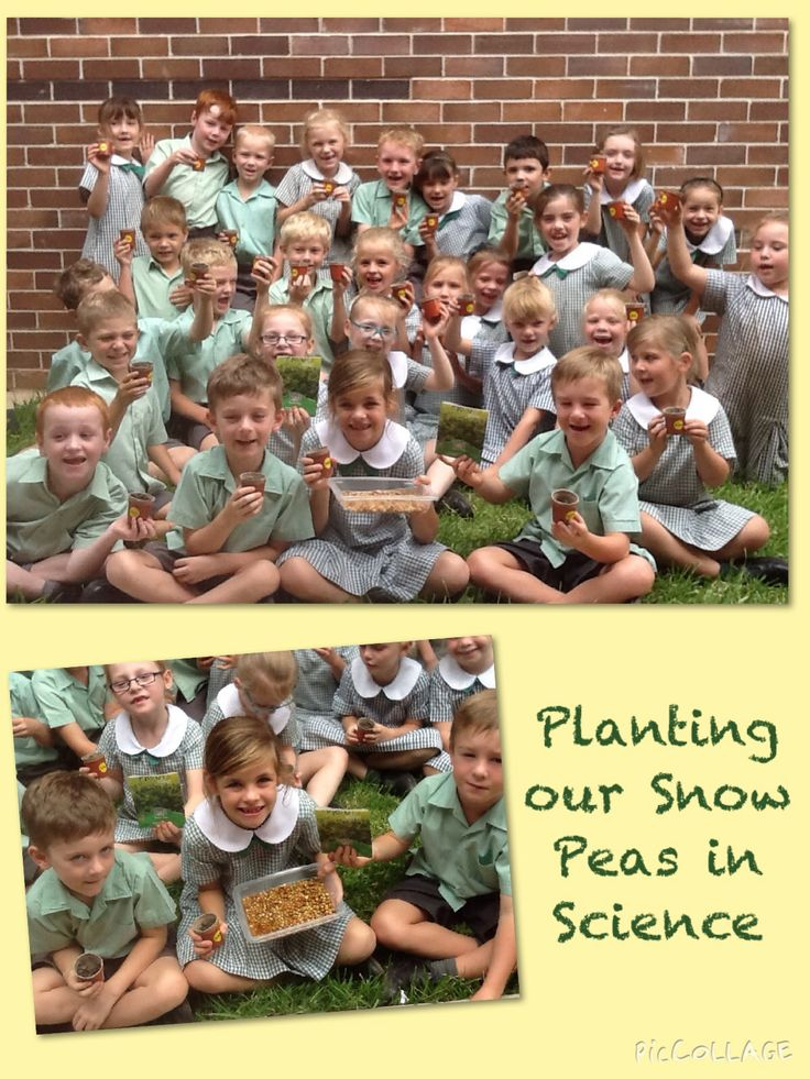 In Year 1 we have planted seeds as a part of our Science unit Living Things. We are watering them, giving them sunlight and watching them grow each week. We had lots of fun preparing our pots for our snow peas.