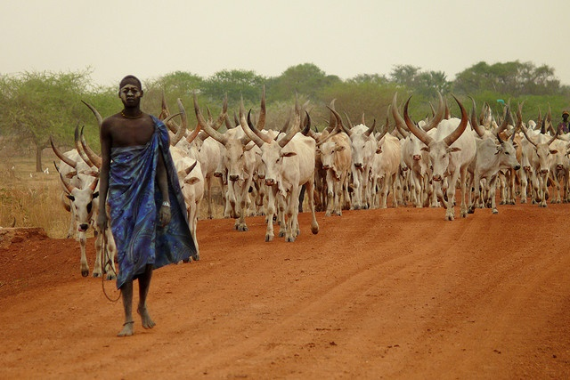 Africa | Sights and Sounds. Dinka with cattle. Cattle dominate almost all sectors of the Dinka economy, as they are also essential in acquiring and maintaining prestige, influence and political power in the community. The Dinka see their lives and those of their cattle inextricably intertwined.: