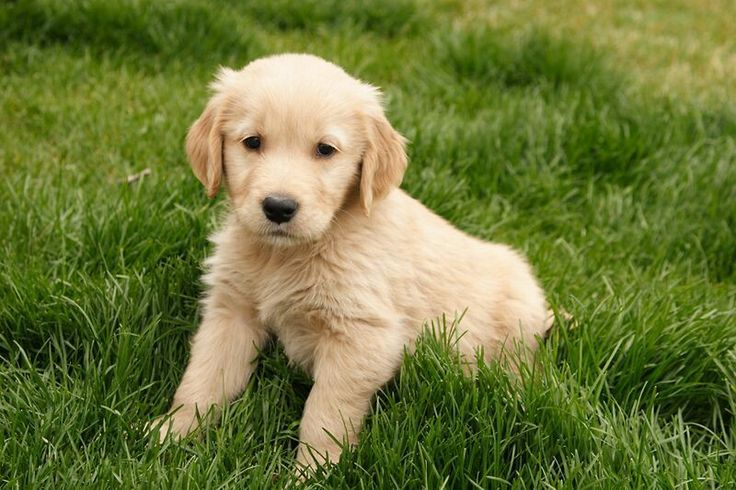 Taz.  I want another Golden puppy!!