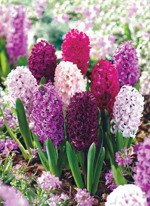 Hyacinths - Heavily scented and come in an array of colours including white, pink, purple and blue.