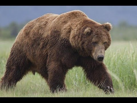 Documentary ►► Bears Full Movie Online HD
