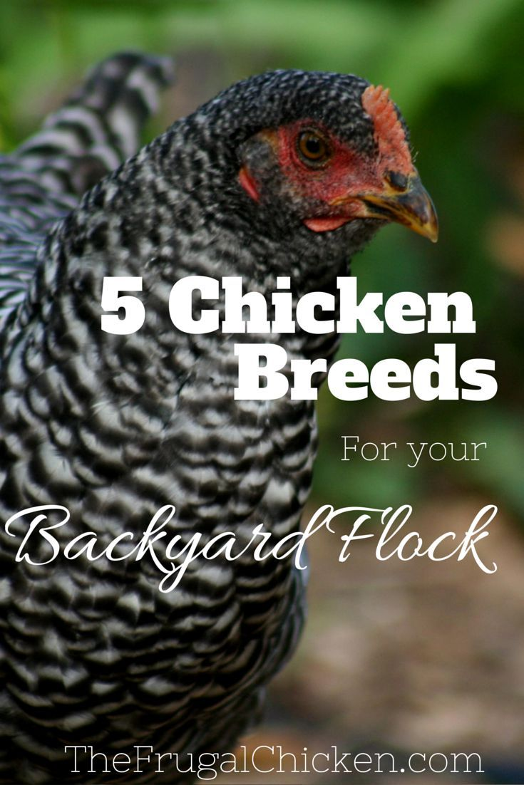 291 best backyard chickens images on pinterest backyard chickens