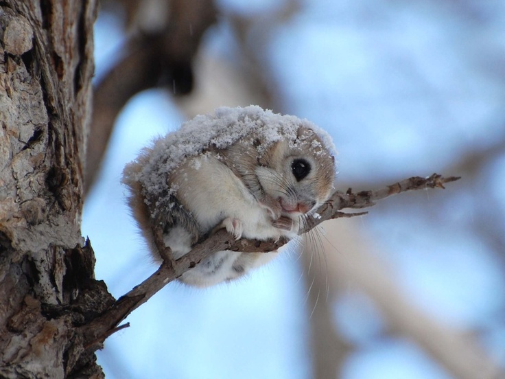 Dwarf Japanese Flying Squirrel covered with snow. <3