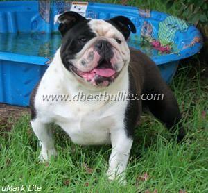 The adult male dogs - English Bulldog Breeder English Bulldog Puppy Breeders English Bulldog Breeder Texas