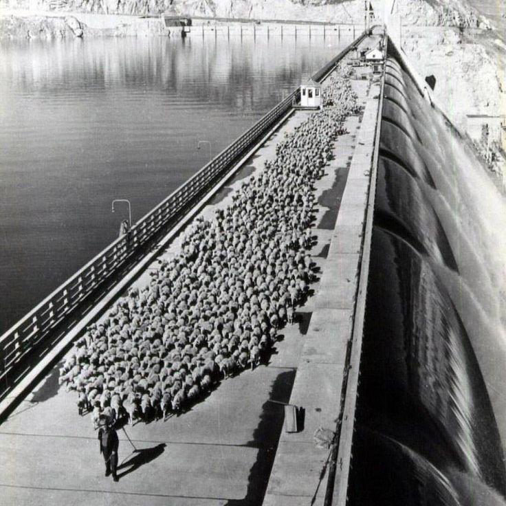 Joe Hodgin, an eastern Washington woolgrower, takes his herd of 2,600 sheep across the Grand Coulee Dam around 1947.