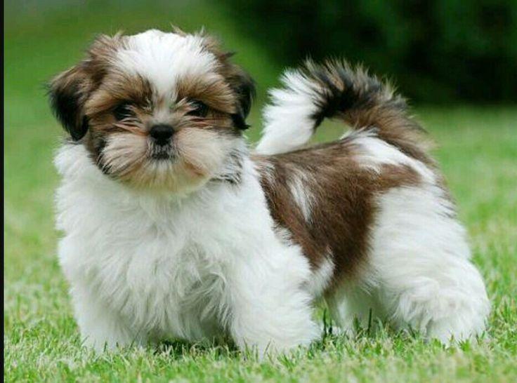 Cute little puppy Google.com