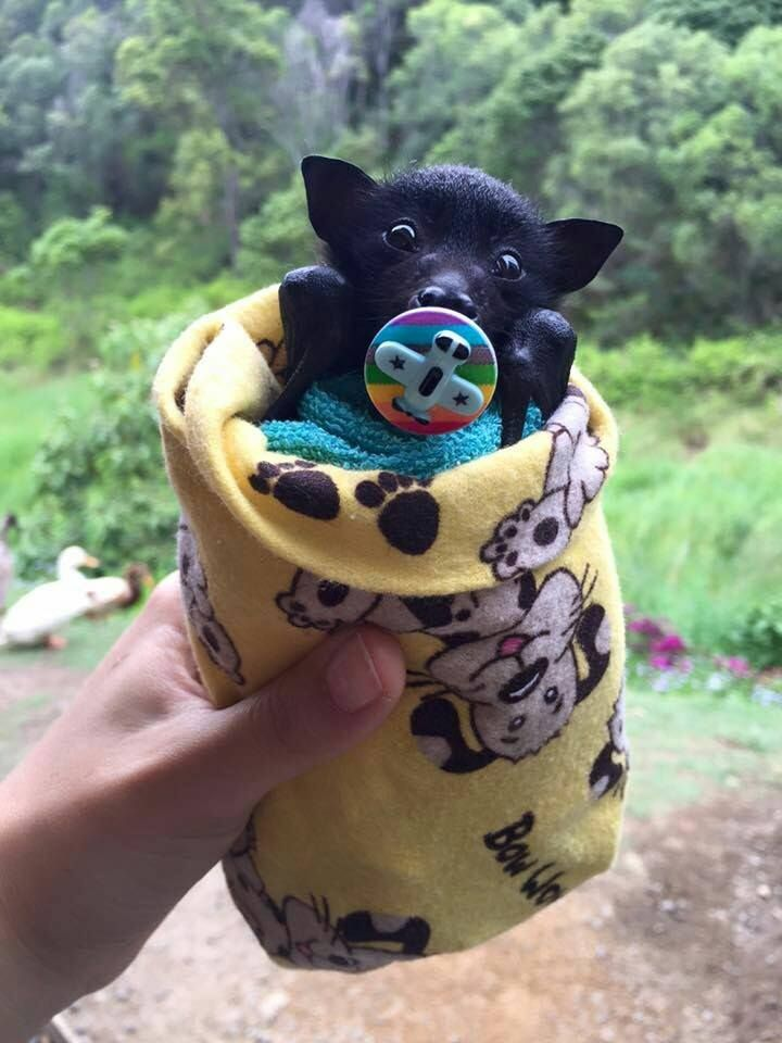 Baby bat all wrapped up, complete with pacifier.