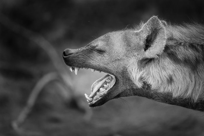 A late afternoon yawn before heading out for the evening hunt. Photograph by Trevor Ryan McCall-Peat