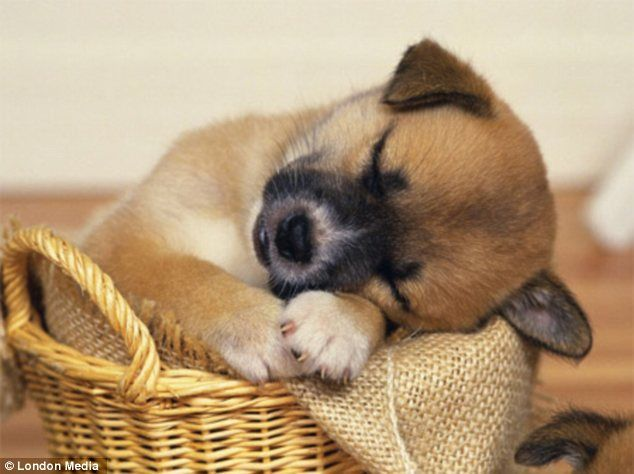 Coloring Pages Of Sleeping Animals : 71 best sleeping puppies images on pinterest little dogs adorable