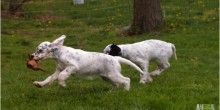 Too Cute English Setter Puppies Have The Hunter Instinct - http://furever.ca/too-cute-english-setter-puppies/