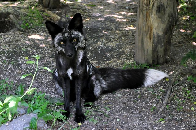 Silver fox sitting pretty, a color morph of the red fox  #Vulpes_vulpes #mytumblr