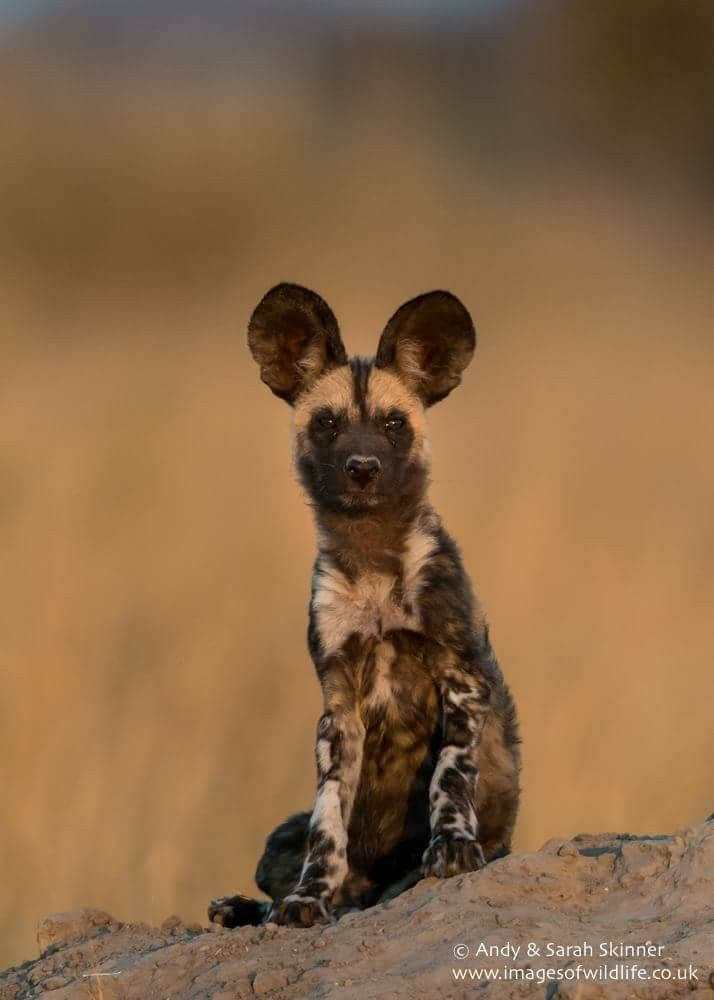 Painted Dog.