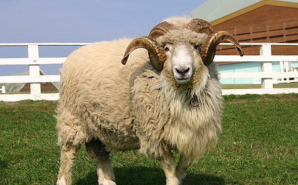 ひつじ|マザー牧場の動物たち|動物イベント|マザー牧場